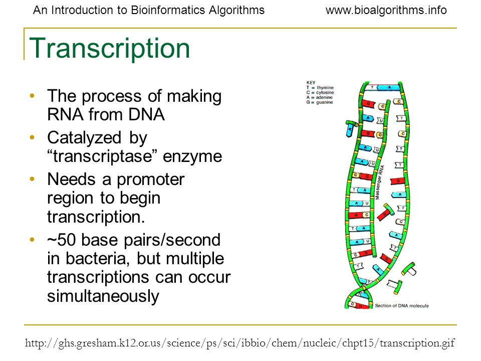 Transcription The process of making RNA from DNA