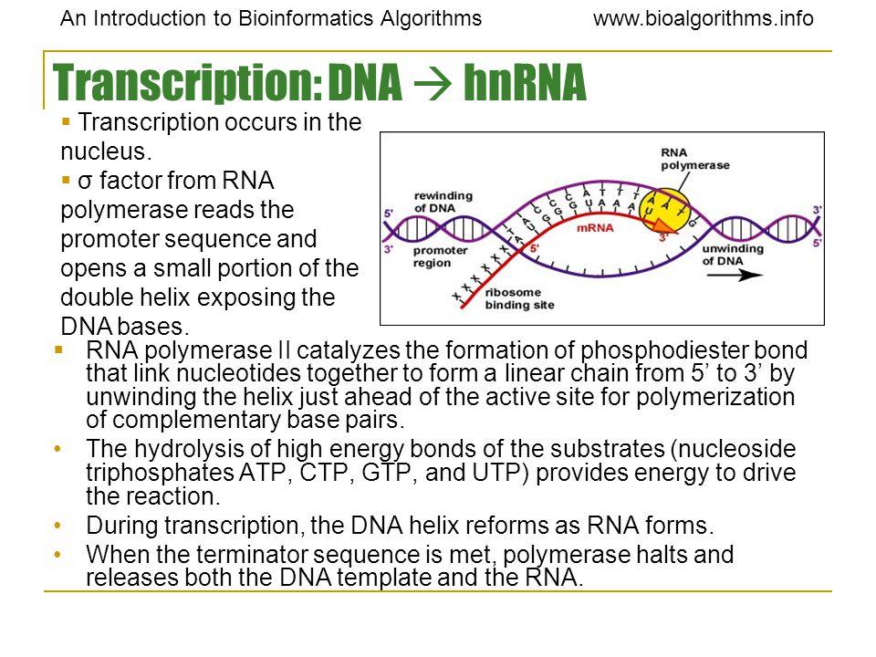 Transcription: DNA  hnRNA