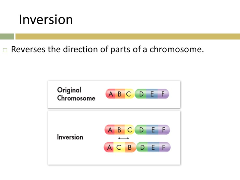 Inversion Reverses the direction of parts of a chromosome.
