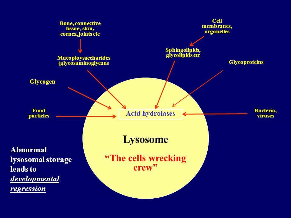 Lysosome The cells wrecking crew