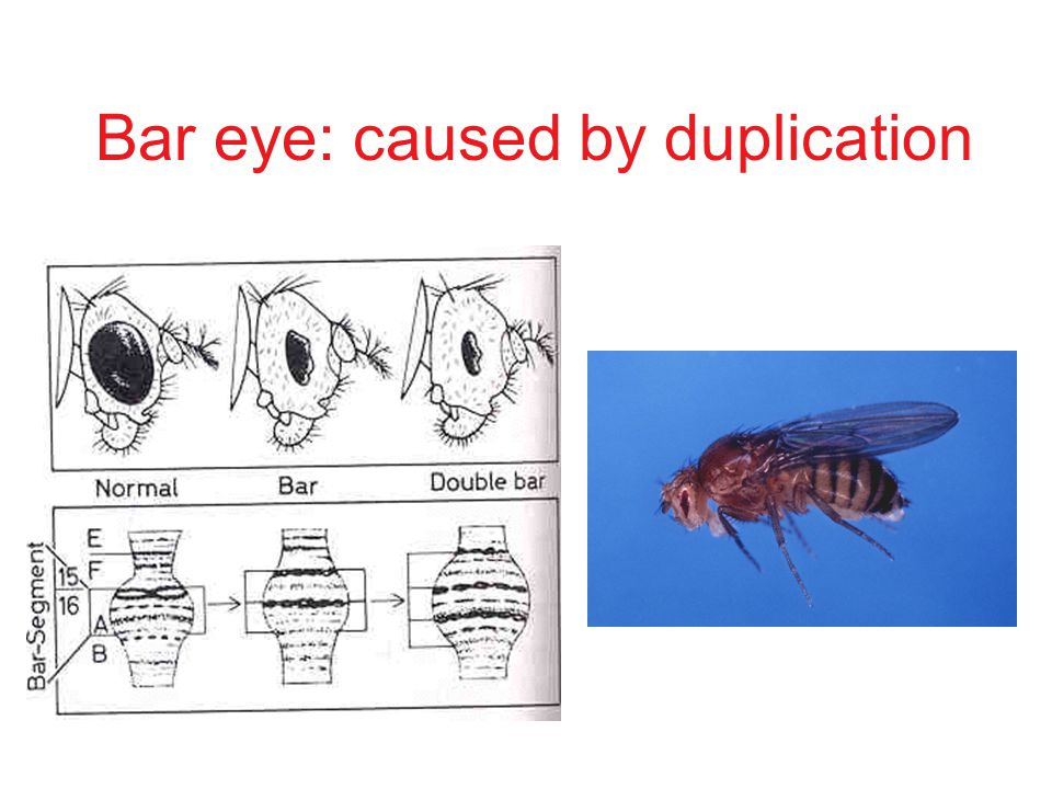 Bar eye: caused by duplication