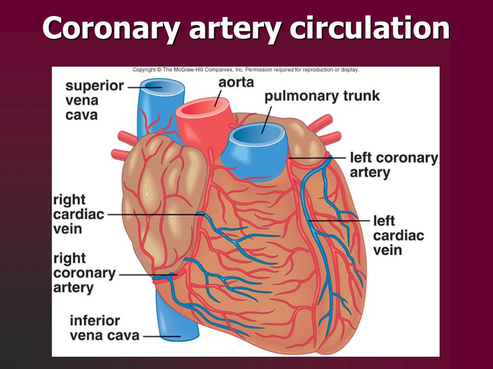 Coronary artery circulation