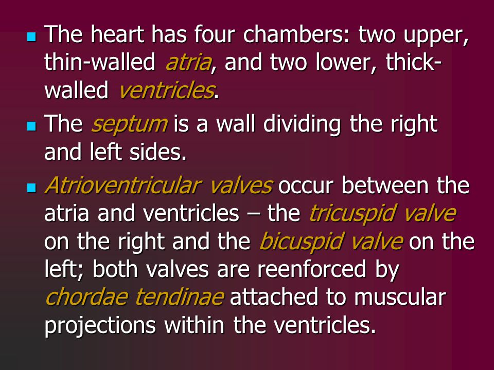The heart has four chambers: two upper, thin-walled atria, and two lower, thick-walled ventricles.
