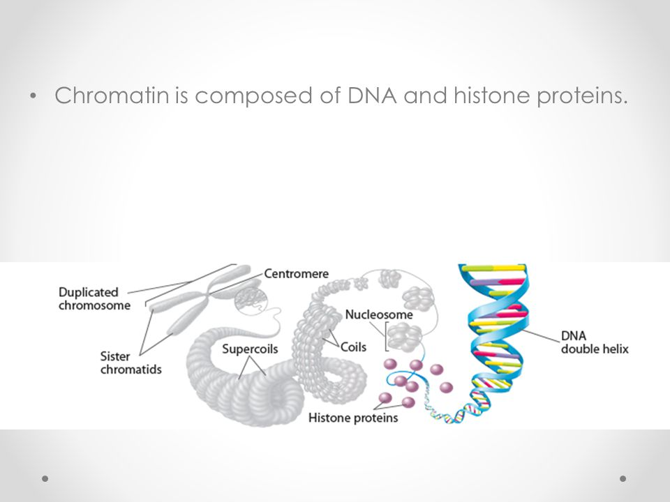 Chromatin is composed of DNA and histone proteins.