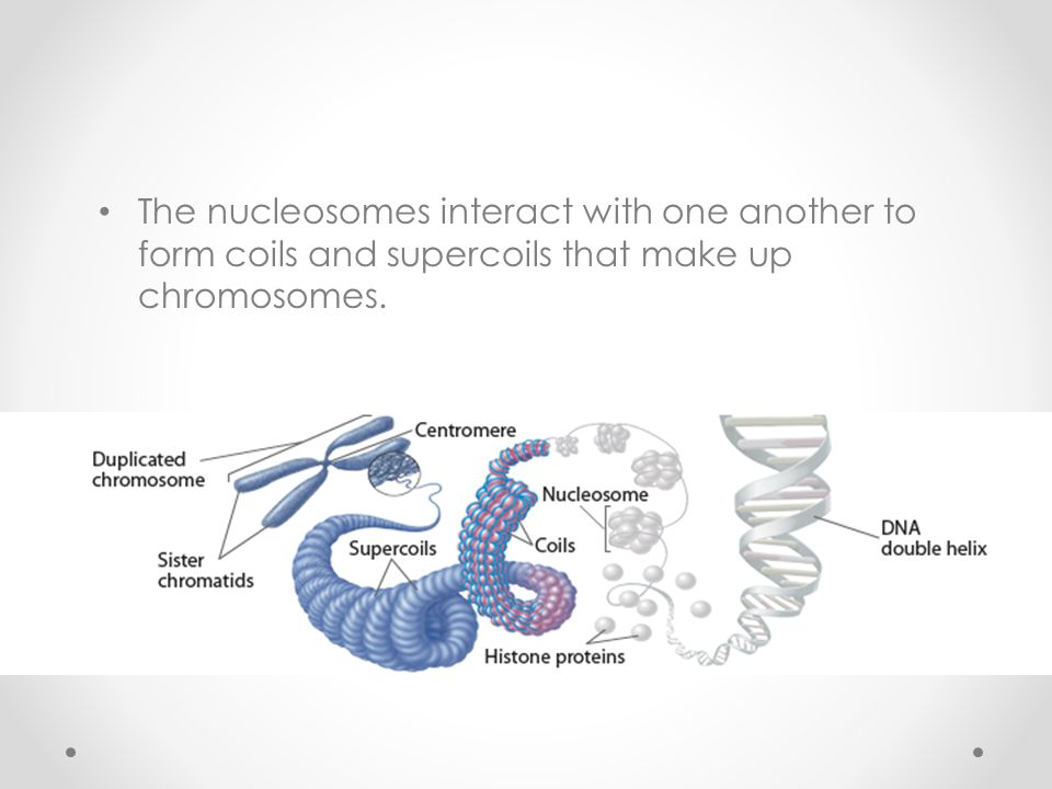 The nucleosomes interact with one another to form coils and supercoils that make up chromosomes.