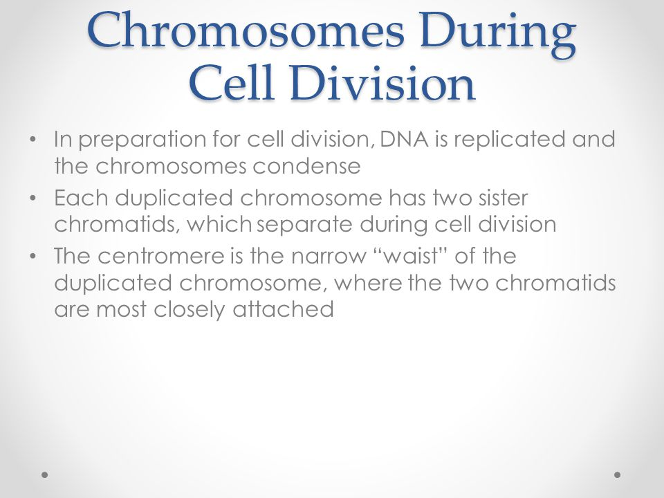 Chromosomes During Cell Division