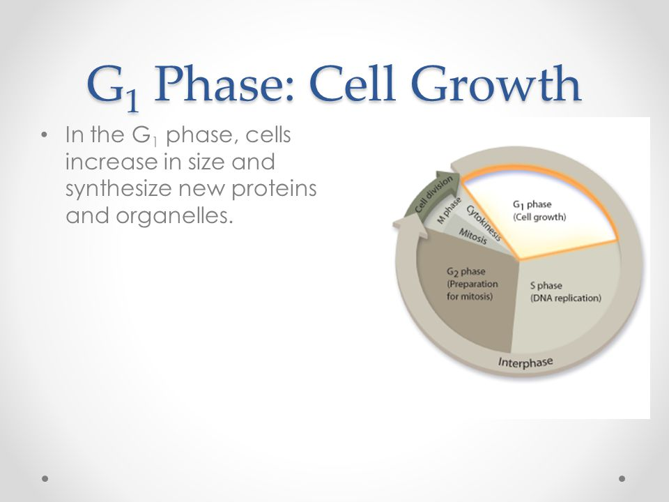 G1 Phase: Cell Growth In the G1 phase, cells increase in size and synthesize new proteins and organelles.