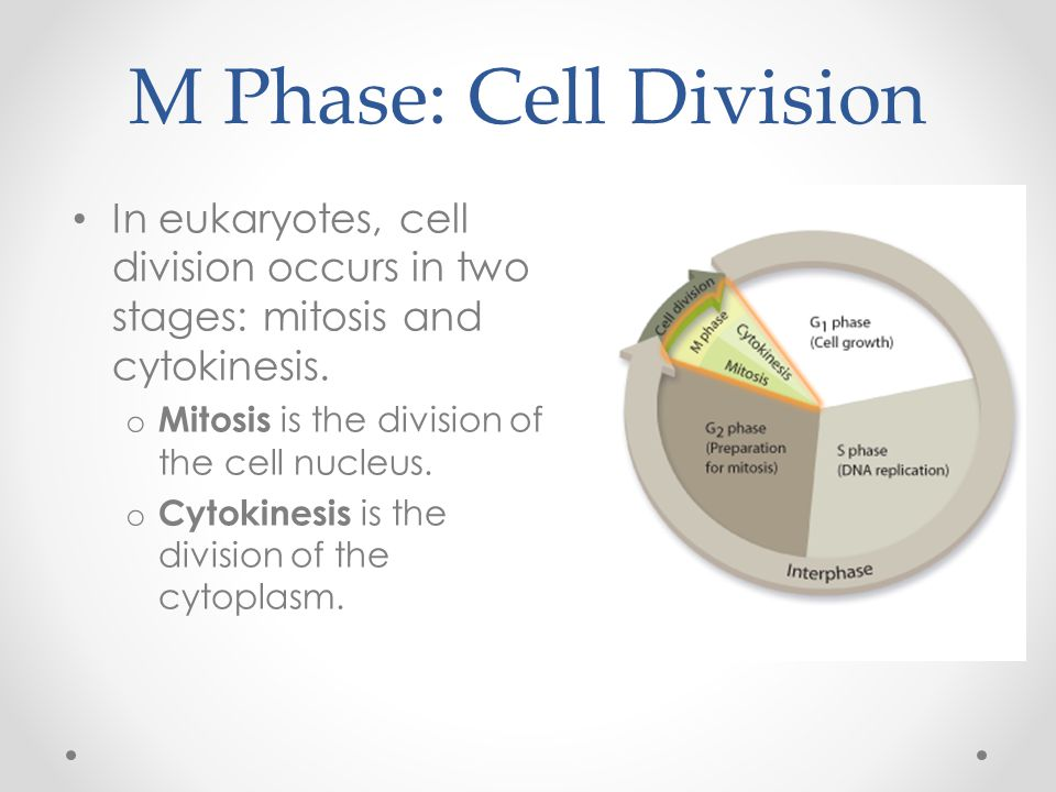 M Phase: Cell Division In eukaryotes, cell division occurs in two stages: mitosis and cytokinesis. Mitosis is the division of the cell nucleus.
