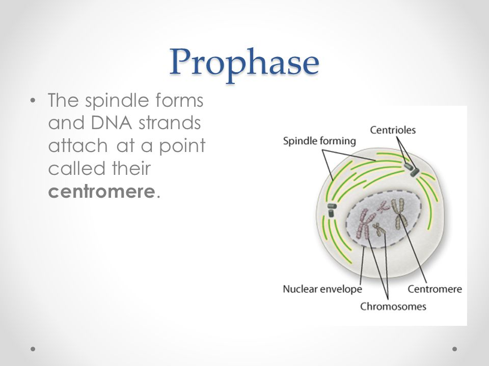 Prophase The spindle forms and DNA strands attach at a point called their centromere.
