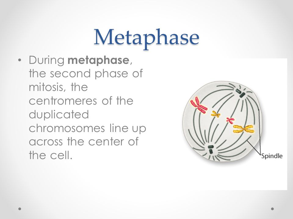 Metaphase During metaphase, the second phase of mitosis, the centromeres of the duplicated chromosomes line up across the center of the cell.