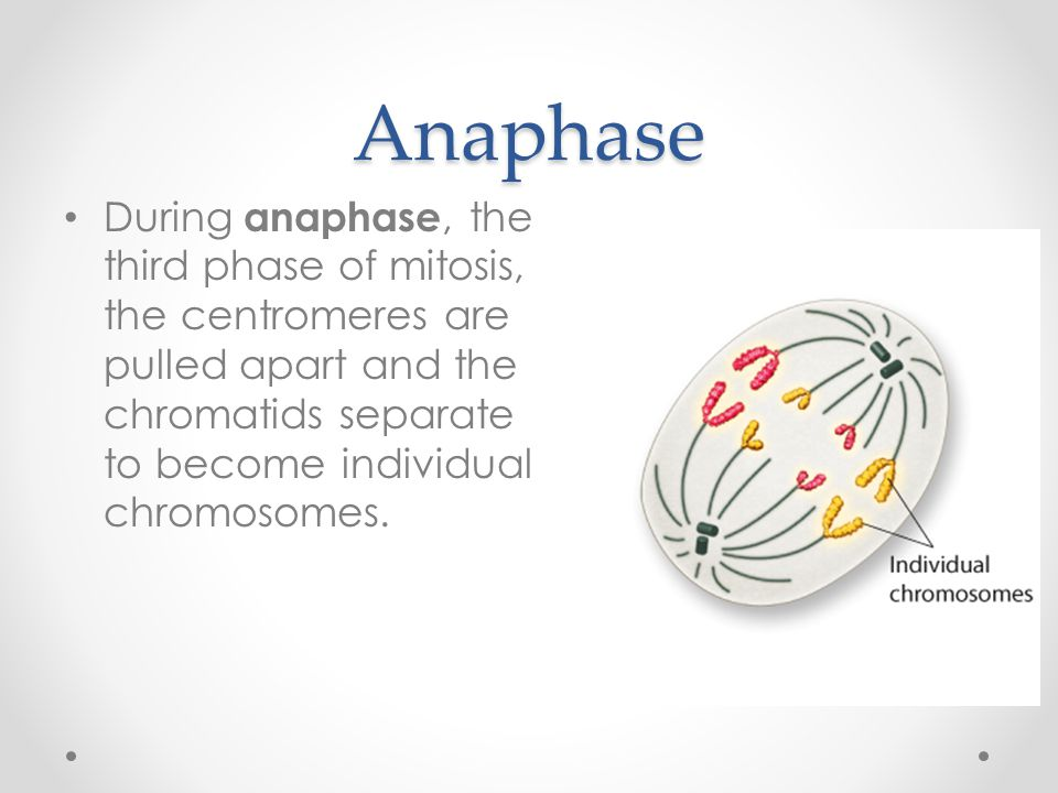 Anaphase During anaphase, the third phase of mitosis, the centromeres are pulled apart and the chromatids separate to become individual chromosomes.