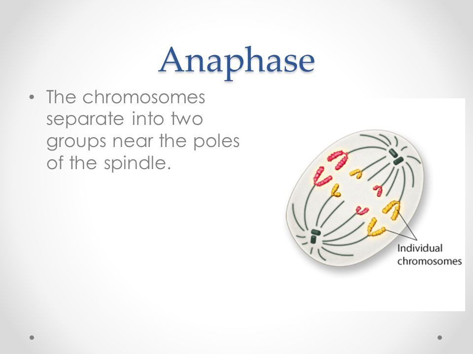 Anaphase The chromosomes separate into two groups near the poles of the spindle.
