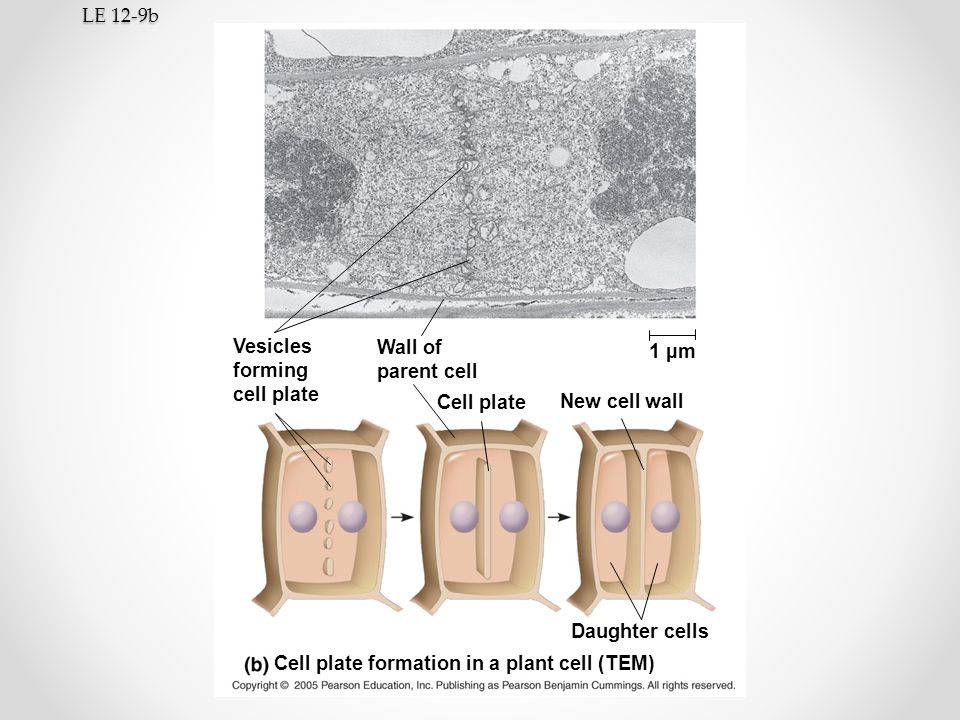 LE 12-9b Vesicles. forming. cell plate. Wall of. parent cell. 1 µm. Cell plate. New cell wall.