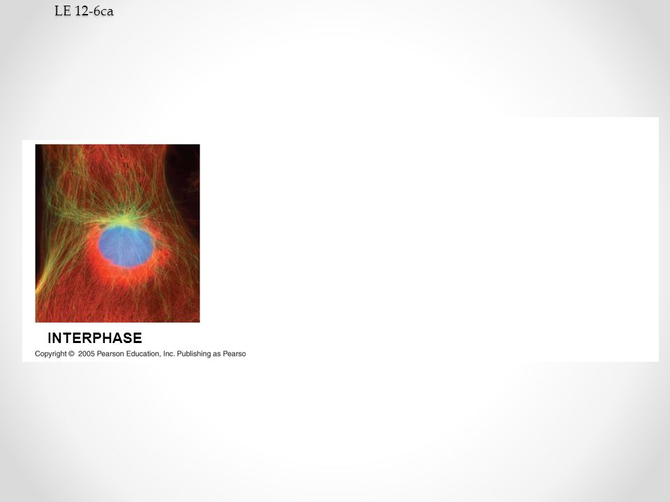 LE 12-6ca INTERPHASE PROPHASE PROMETAPHASE