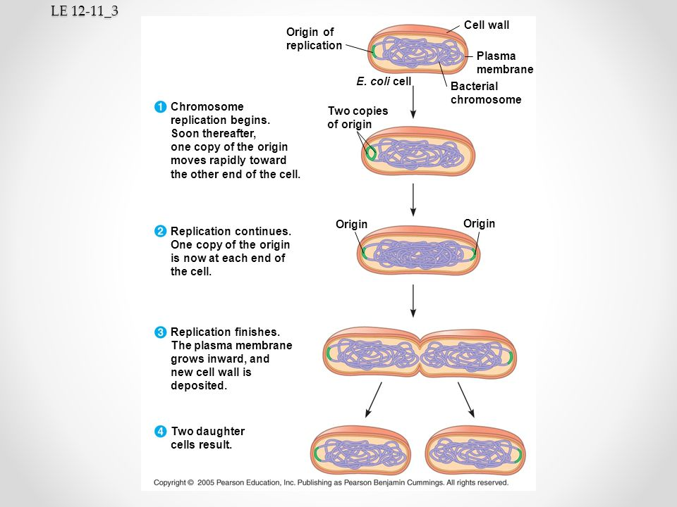 LE 12-11_3 Cell wall Origin of replication Plasma membrane