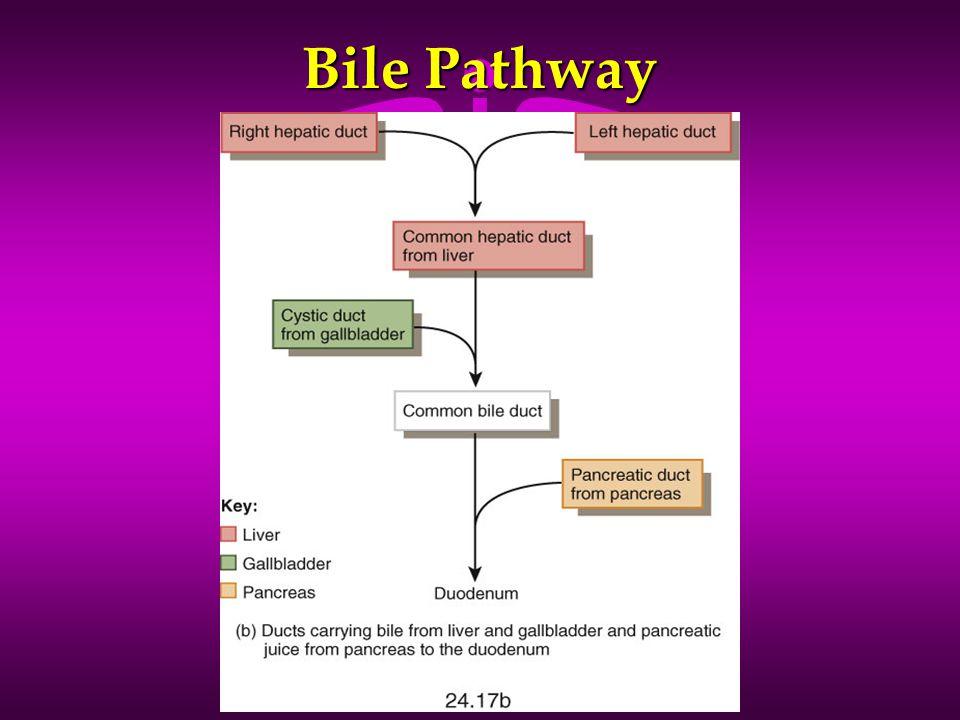 Bile Pathway