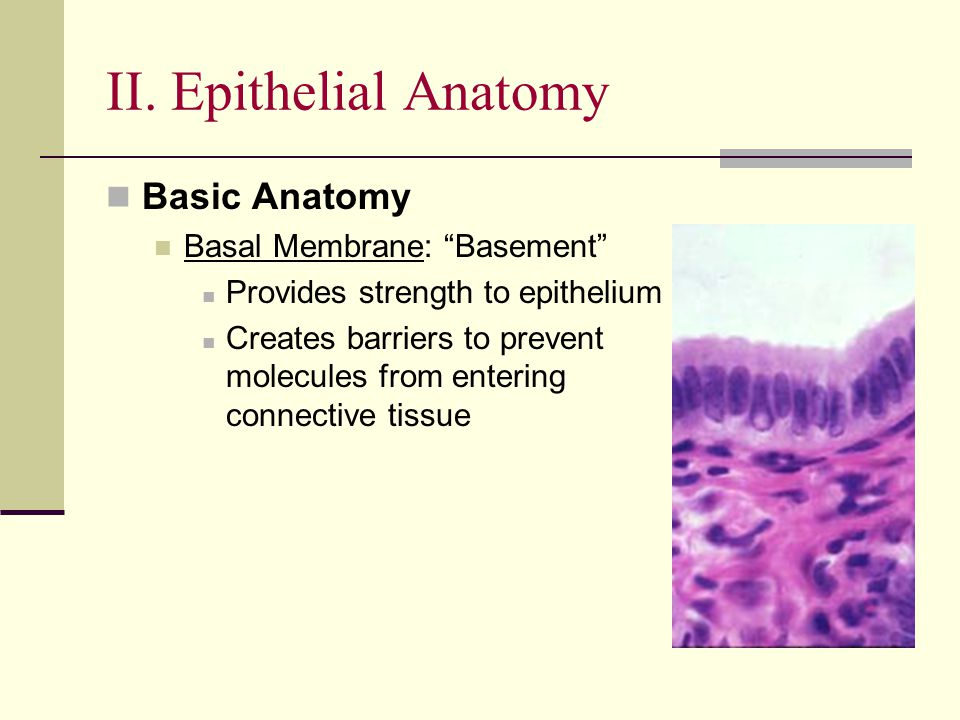 II. Epithelial Anatomy Basic Anatomy Basal Membrane: Basement