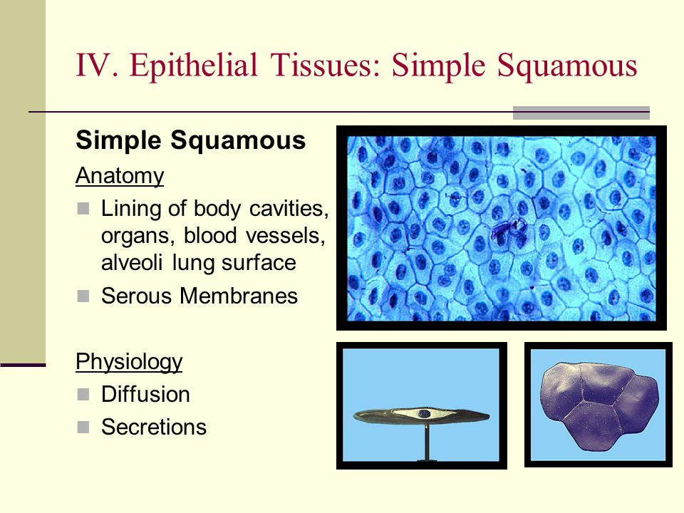 IV. Epithelial Tissues: Simple Squamous