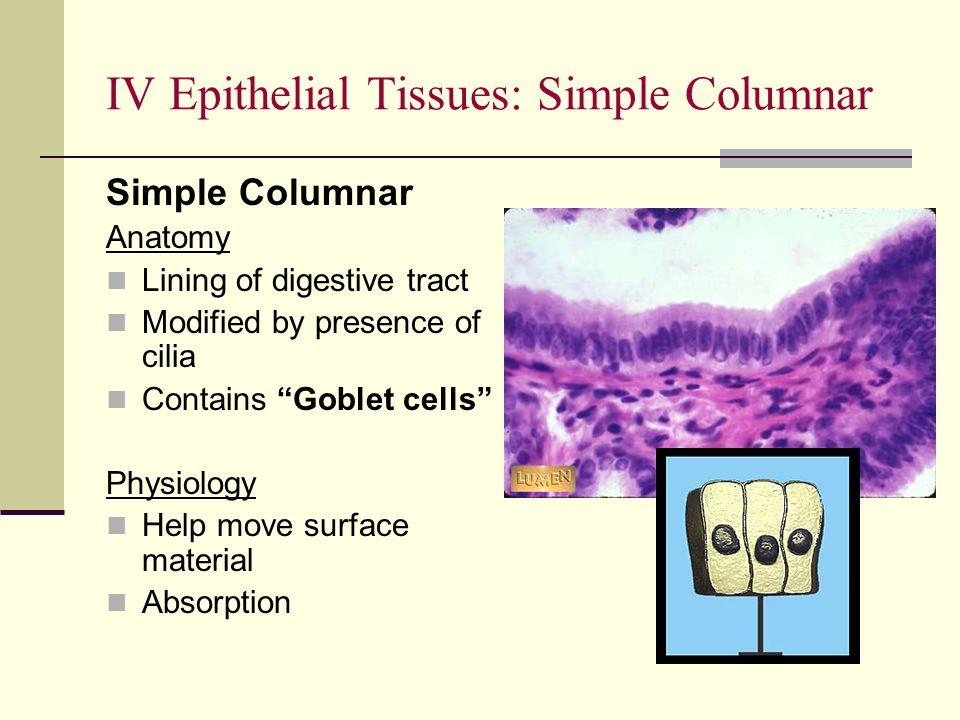 IV Epithelial Tissues: Simple Columnar