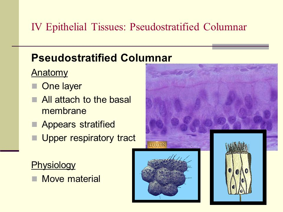IV Epithelial Tissues: Pseudostratified Columnar