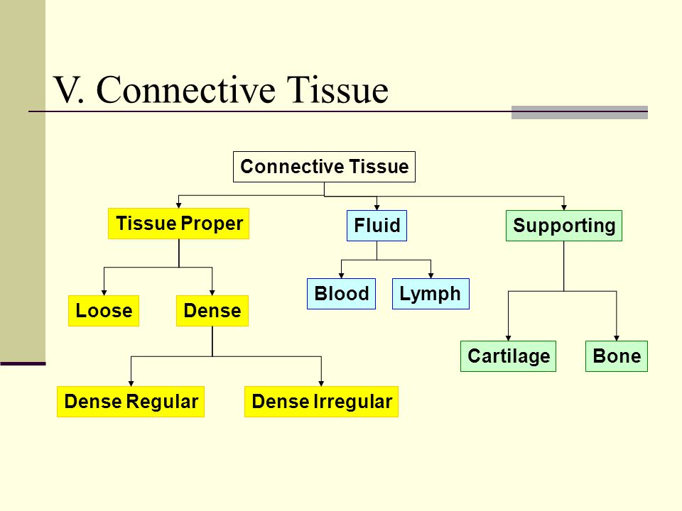 V. Connective Tissue Connective Tissue Tissue Proper Fluid Supporting