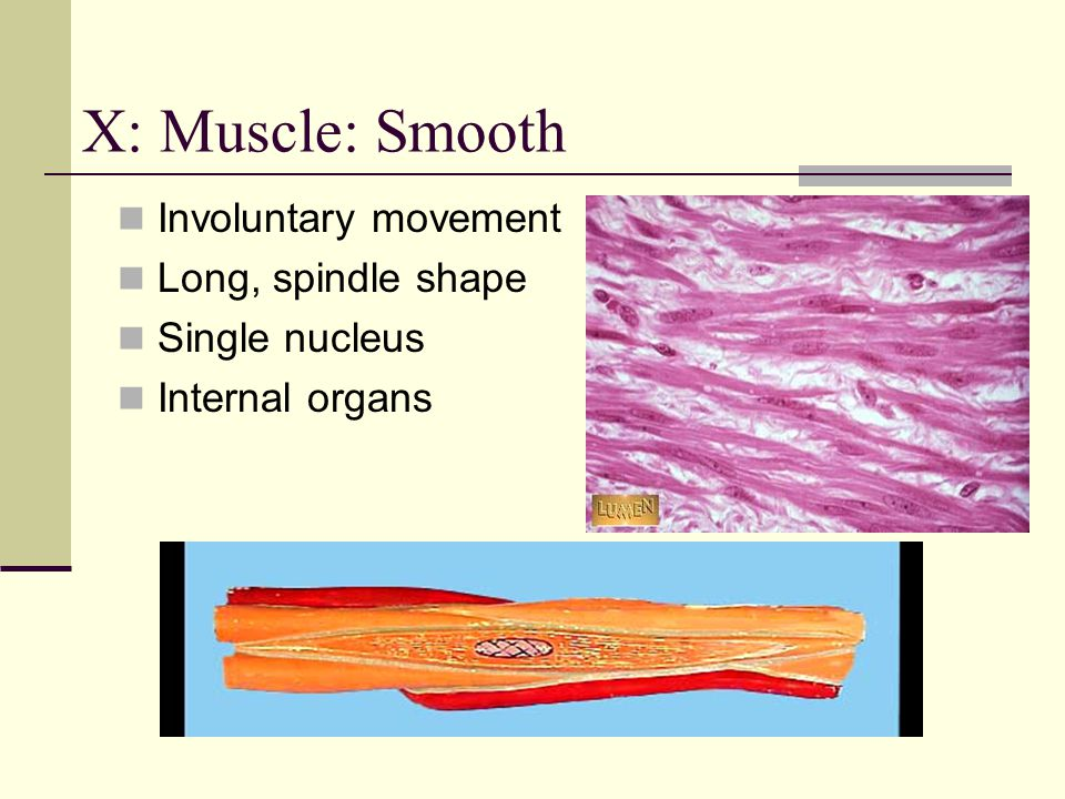 X: Muscle: Smooth Involuntary movement Long, spindle shape
