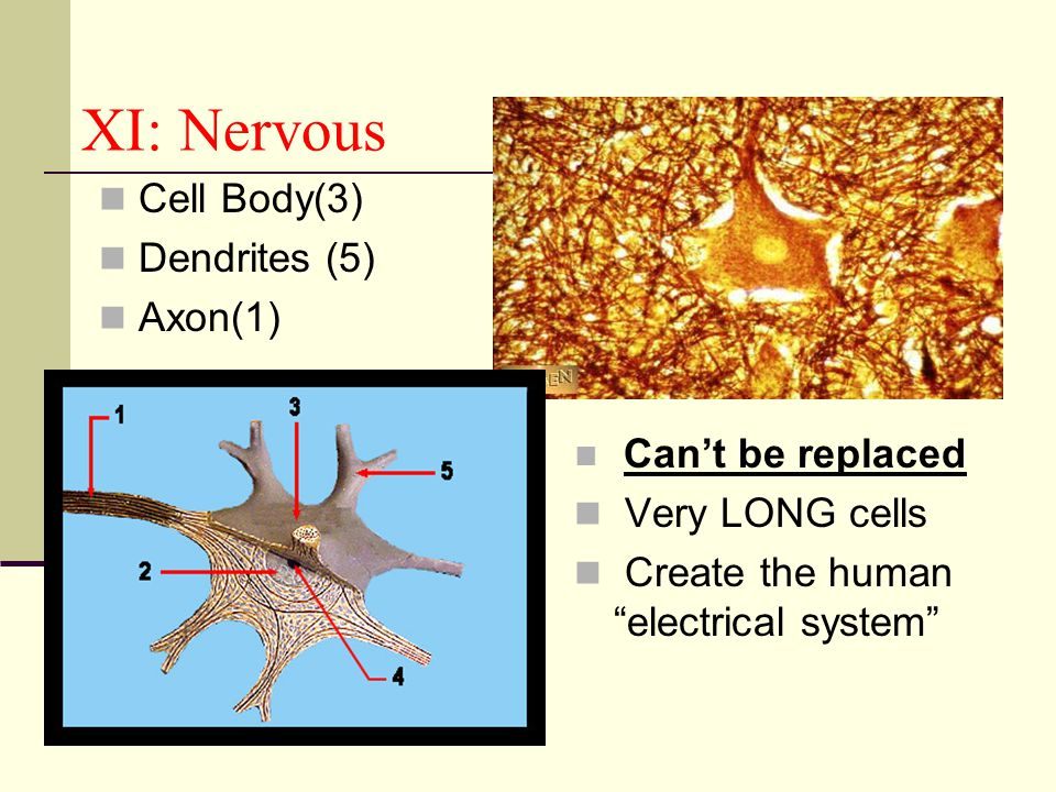 XI: Nervous Cell Body(3) Dendrites (5) Axon(1) Very LONG cells