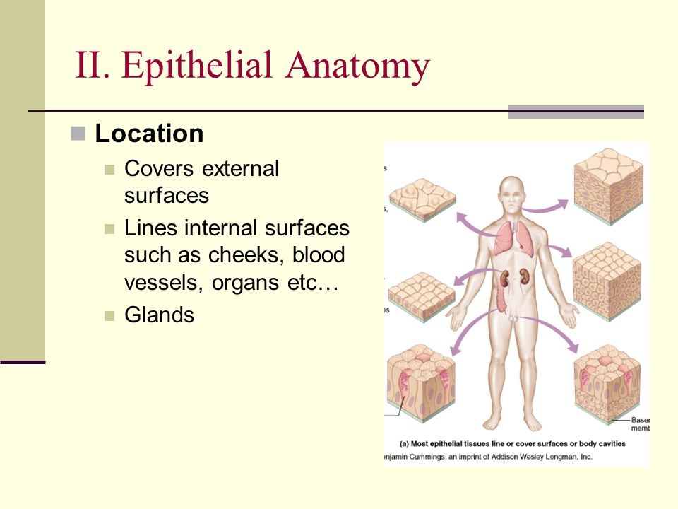II. Epithelial Anatomy Location Covers external surfaces