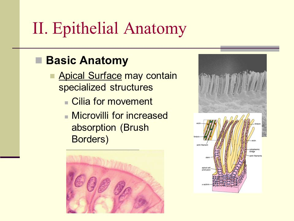 II. Epithelial Anatomy Basic Anatomy