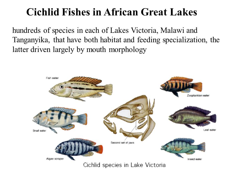 Cichlid Fishes in African Great Lakes