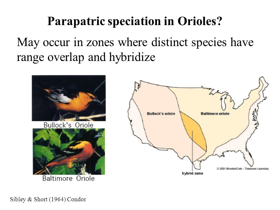 Parapatric speciation in Orioles