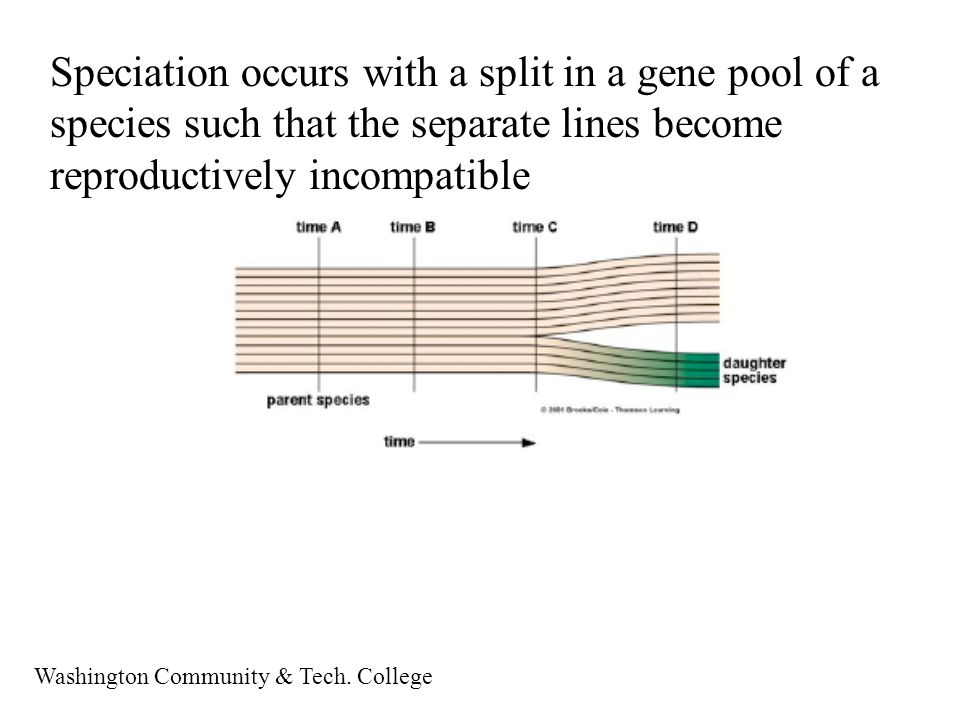 Speciation occurs with a split in a gene pool of a species such that the separate lines become reproductively incompatible