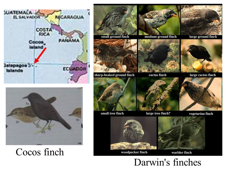 Cocos finch Darwin s finches