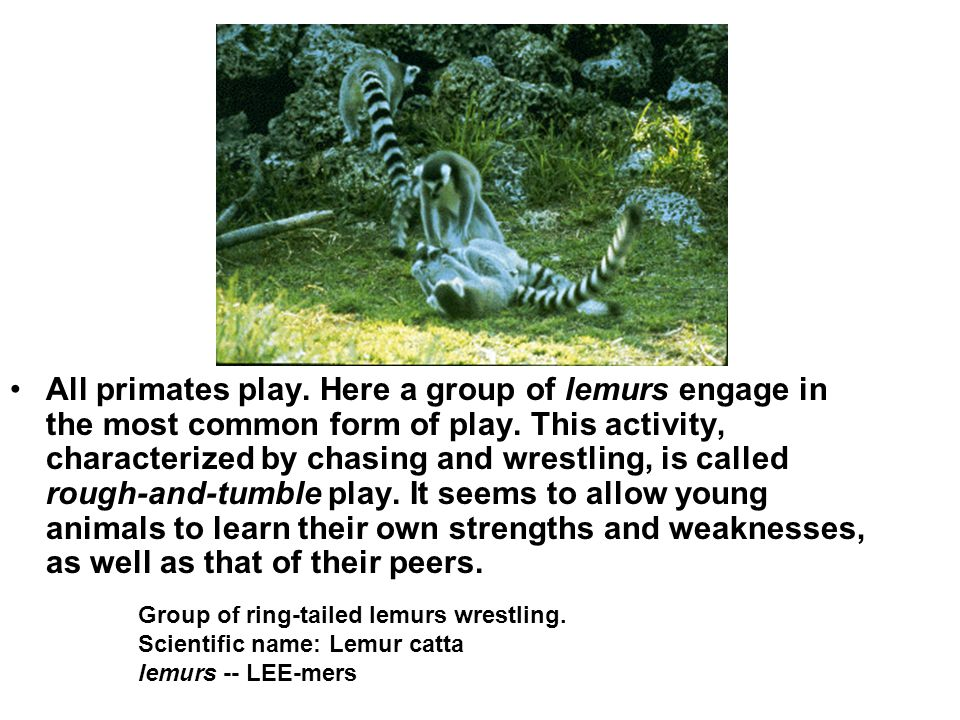 All primates play. Here a group of lemurs engage in the most common form of play. This activity, characterized by chasing and wrestling, is called rough-and-tumble play. It seems to allow young animals to learn their own strengths and weaknesses, as well as that of their peers.