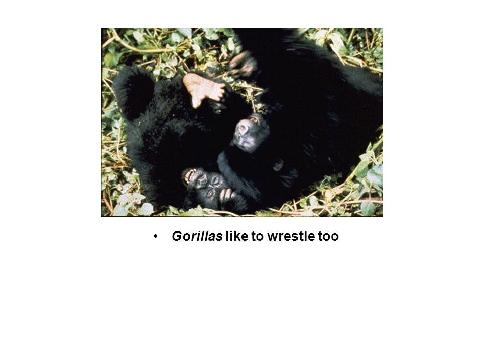 Gorillas like to wrestle too