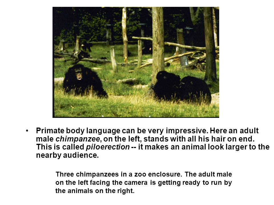 Primate body language can be very impressive