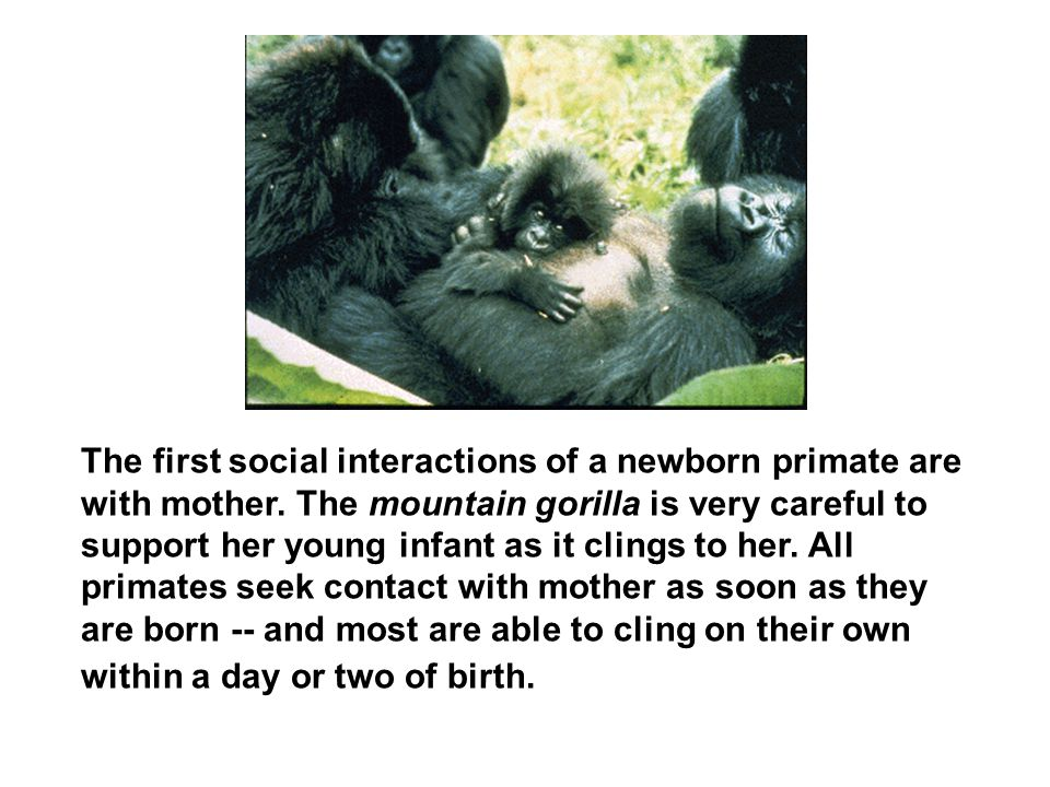 The first social interactions of a newborn primate are with mother