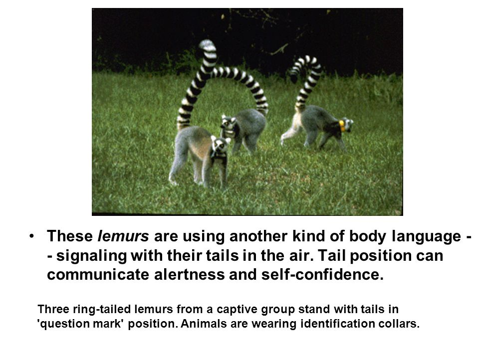 These lemurs are using another kind of body language -- signaling with their tails in the air. Tail position can communicate alertness and self-confidence.