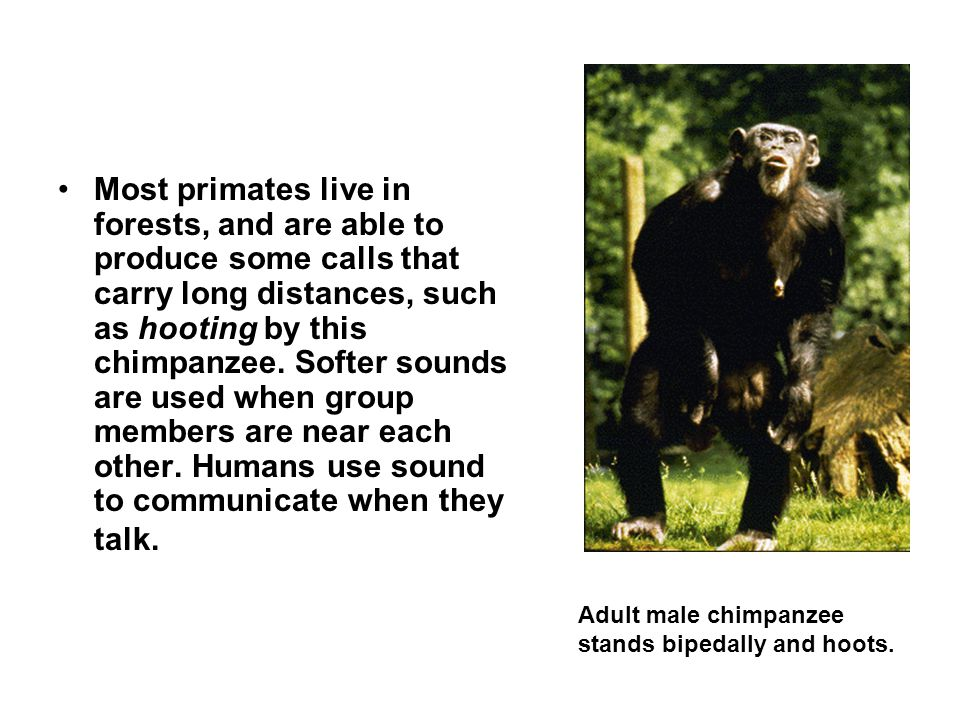 Most primates live in forests, and are able to produce some calls that carry long distances, such as hooting by this chimpanzee. Softer sounds are used when group members are near each other. Humans use sound to communicate when they talk.