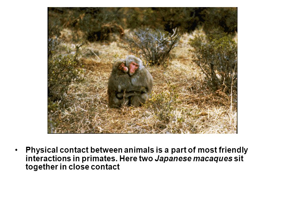 Physical contact between animals is a part of most friendly interactions in primates.