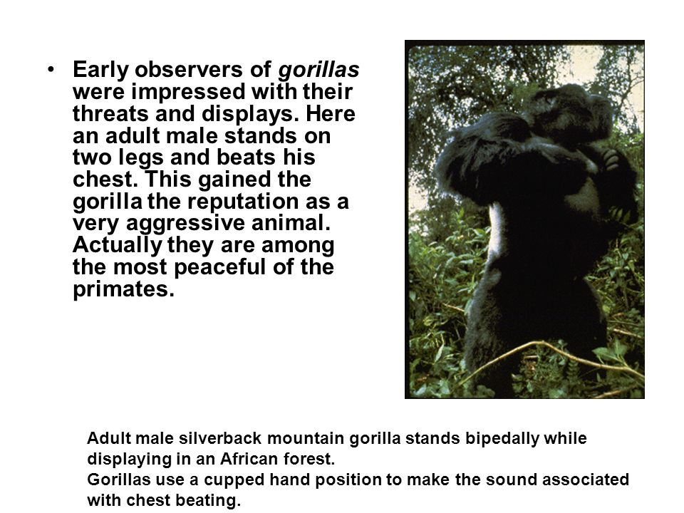 Early observers of gorillas were impressed with their threats and displays. Here an adult male stands on two legs and beats his chest. This gained the gorilla the reputation as a very aggressive animal. Actually they are among the most peaceful of the primates.