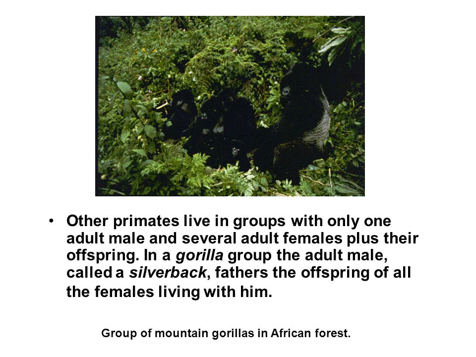 Group of mountain gorillas in African forest.