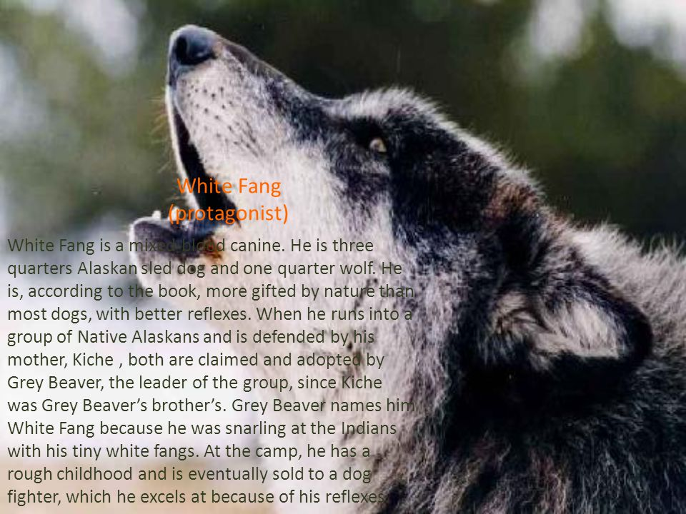 White Fang (protagonist)