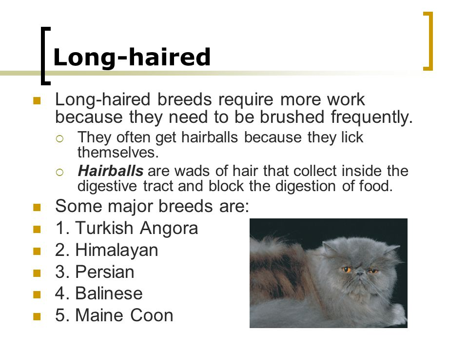 Long-haired Long-haired breeds require more work because they need to be brushed frequently. They often get hairballs because they lick themselves.