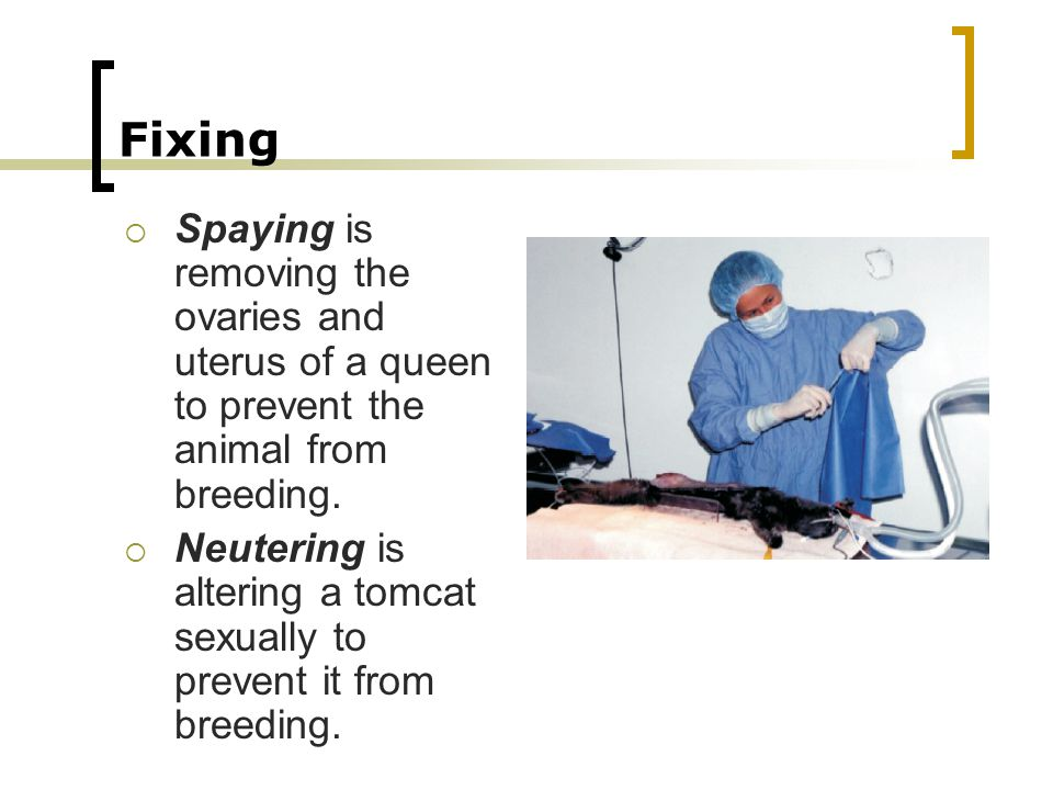Fixing Spaying is removing the ovaries and uterus of a queen to prevent the animal from breeding.