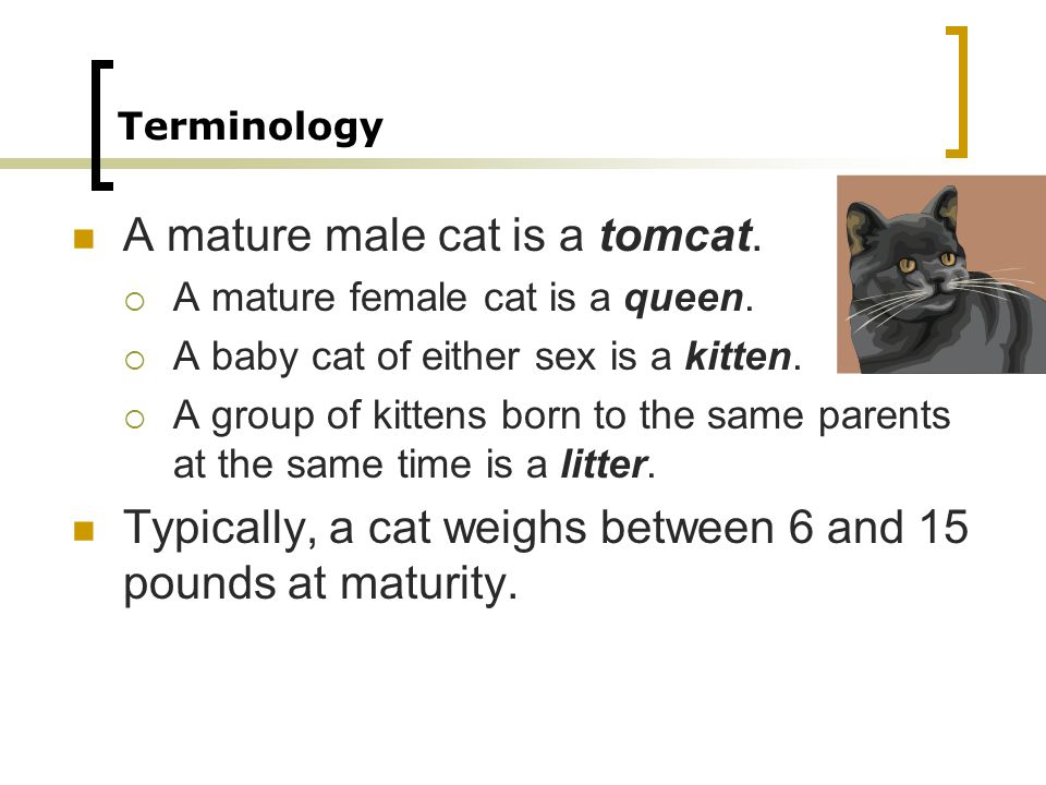 A mature male cat is a tomcat.