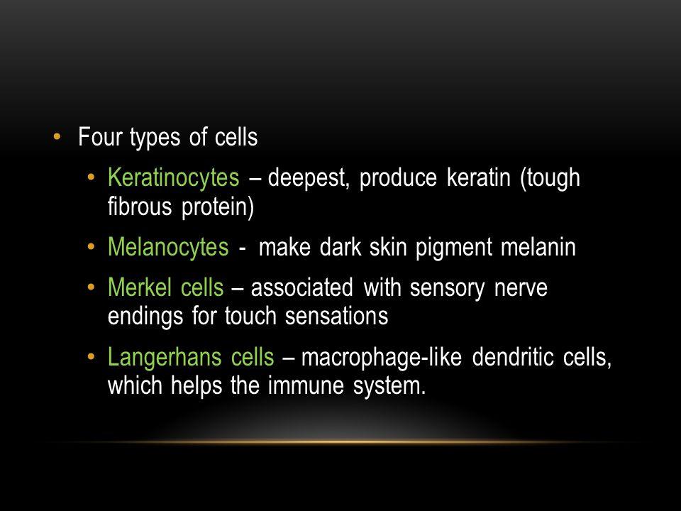 Four types of cells Keratinocytes – deepest, produce keratin (tough fibrous protein) Melanocytes - make dark skin pigment melanin.