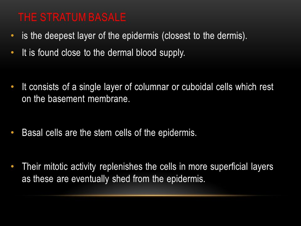 The stratum basale is the deepest layer of the epidermis (closest to the dermis). It is found close to the dermal blood supply.
