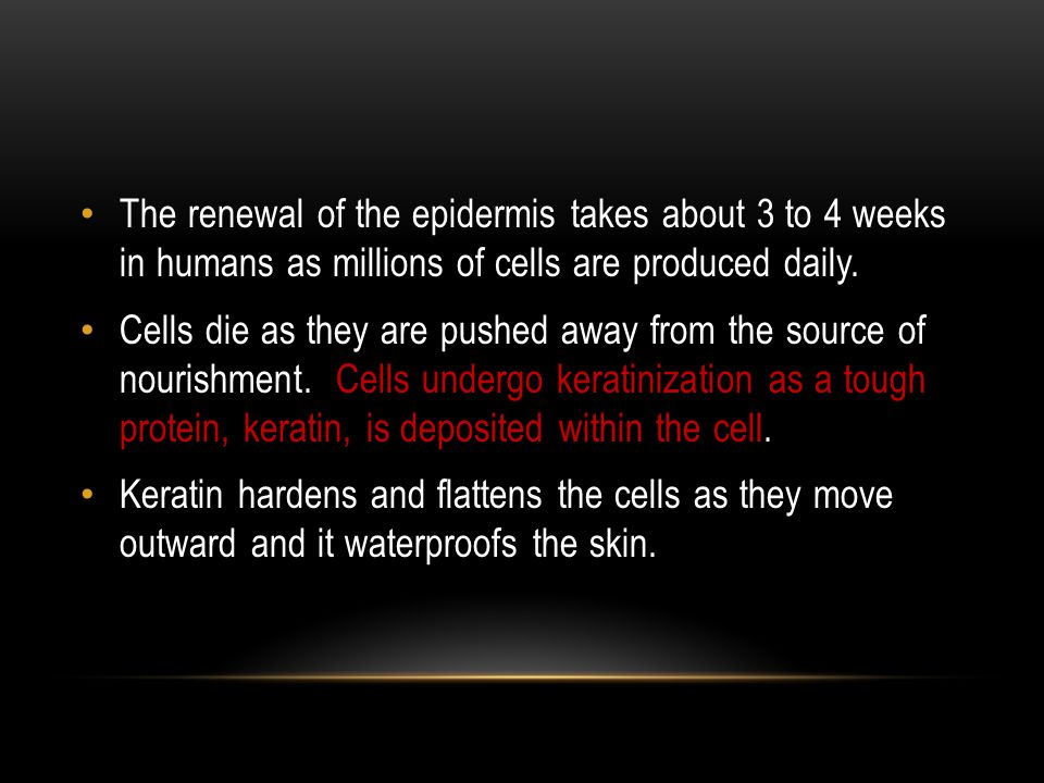 The renewal of the epidermis takes about 3 to 4 weeks in humans as millions of cells are produced daily.