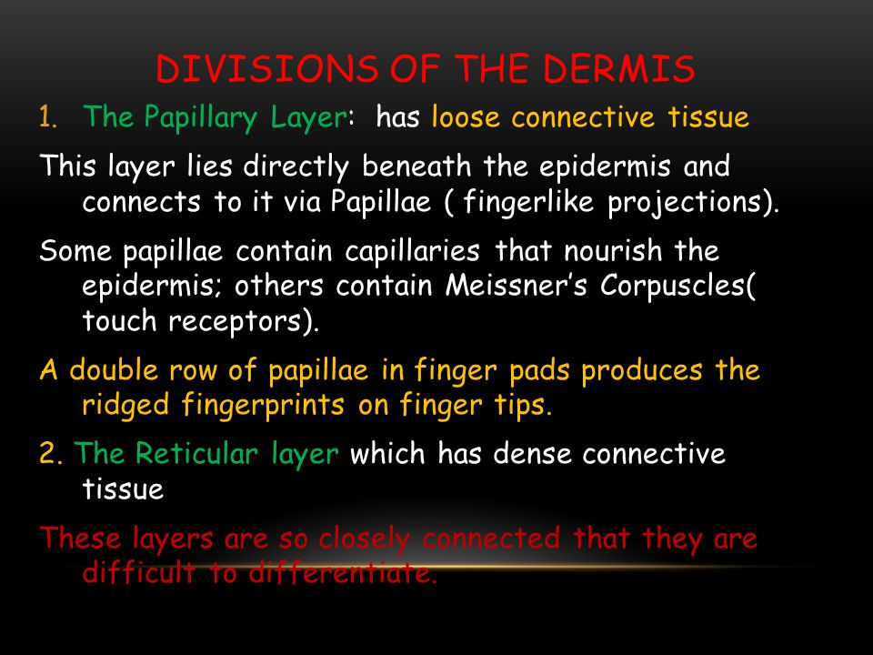 Divisions of the Dermis